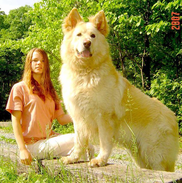 TWW - giant sized german shepherds- best guard dogs ever
