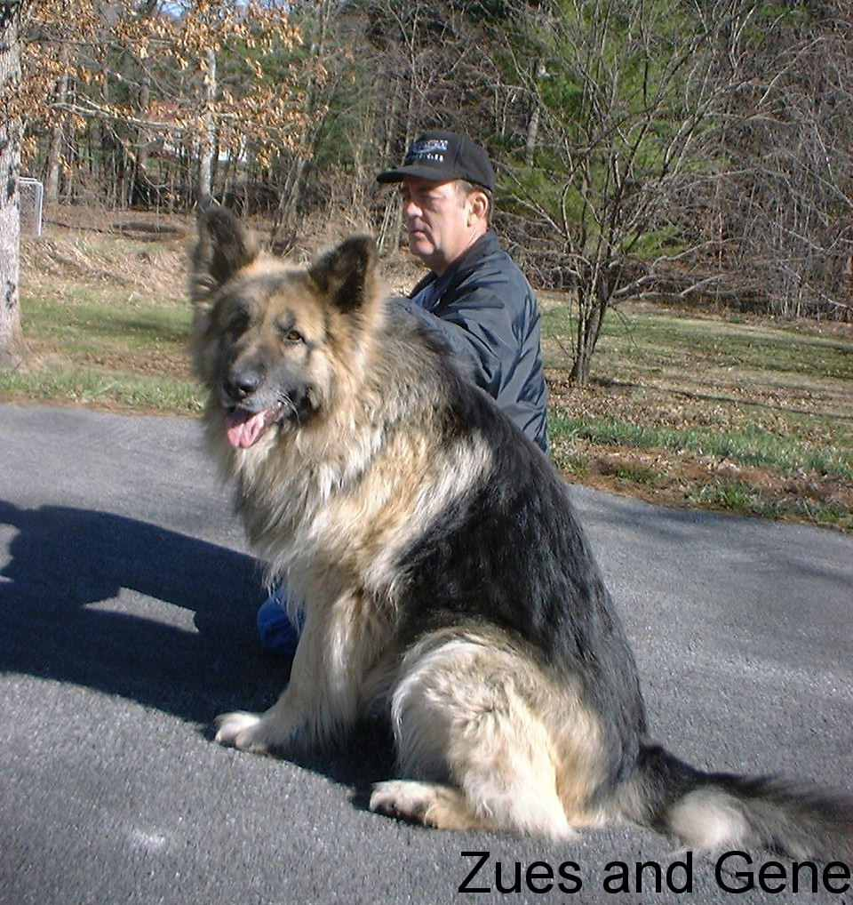 Selah s large long coat old fashioned style giant german shepherd dogs
