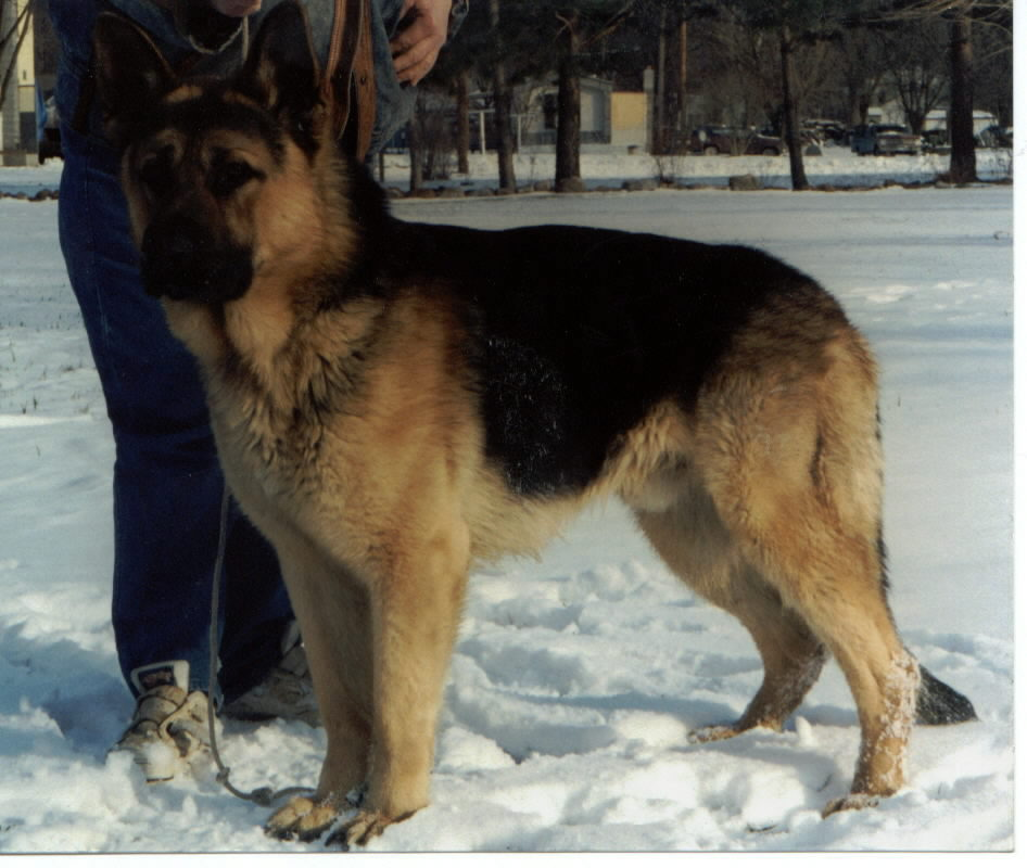 Large German Shepherd studs we often use for our breeding program