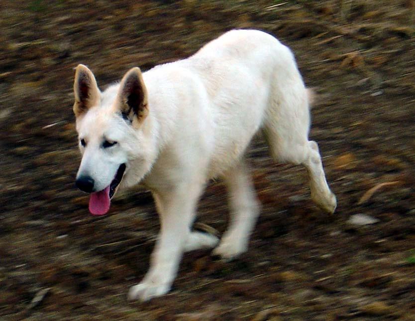 My Vicious White German Shepherd  Wolf mix  YouTube