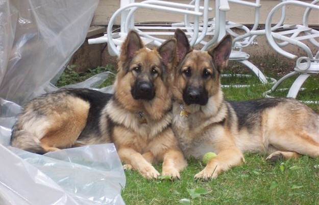 Old-Fashioned, Thick Boned, Large German Shepherd Breeder 61
