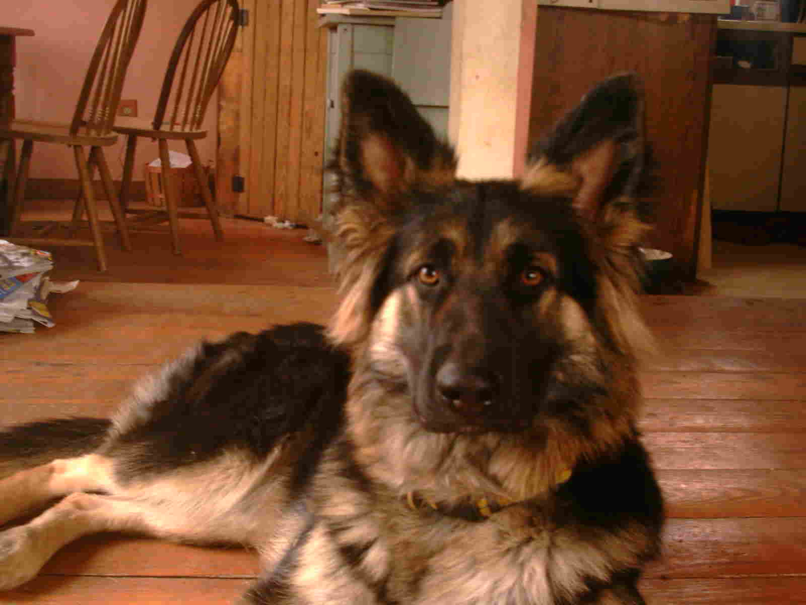 Pictures of old fashion german shepherds we are breeders of The Most Beautiful Black Baby In The World
