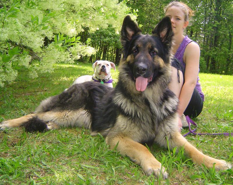 Long Haired German Shepherd Shedding German Shepherd Dog